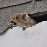 squirrel damaging a roof