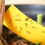 get rid of gnats naturally quick and easy