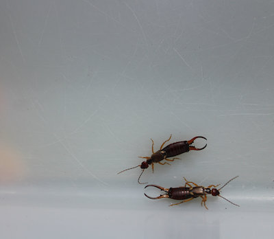Cause of Earwig Infestation